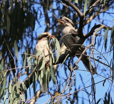 Shows pair of Laughing Kookaburras, Edward Hunter Heritage Bush Reserve