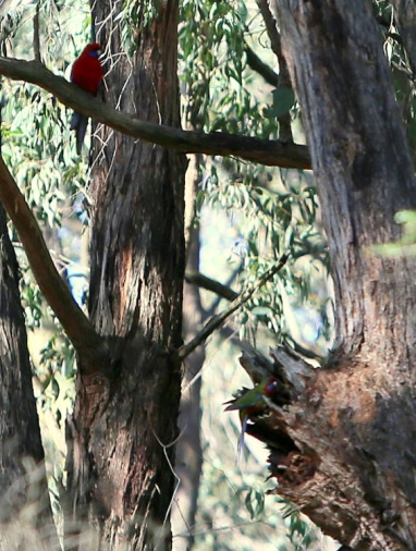 Shows crimson rosella pair with hollow, Edward Hunter Heritage Bush Reserve