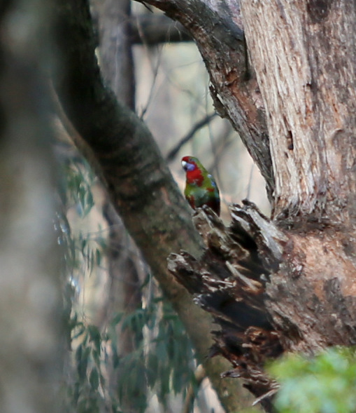 Shows crimson rosella with hollow, Edward Hunter Heritage Bush Reserve