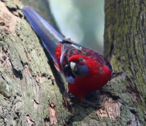 Shows crimson rosella, Edward Hunter Heritage Bush Reserve