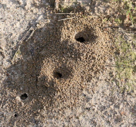 Shows ant nest openings of Aphaenogaster longiceps, Edward Hunter Heritage Bush Reserve