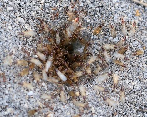 Shows ants of Aphaenogaster longiceps, Edward Hunter Heritage Bush Reserve
