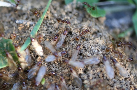 Shows ants ready to fly, a nest opening of Aphaenogaster longiceps, Edward Hunter Heritage Bush Reserve