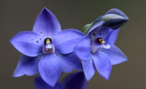 Shows Spotted Sun-orchid, Edward Hunter Heritage Bush Reserve