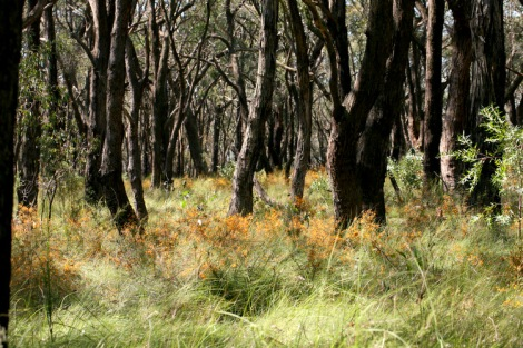Shows woodland area with flowering parrot-pea and bush-pea, Edward Hunter Heritage Bush Reserve