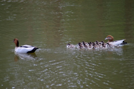 Shows Australian Wood duck family on water, Edward Hunter Heritage Bush Reserve