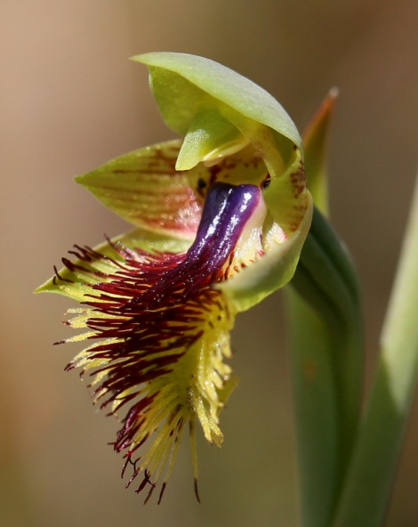 Shows Beard orchid, Edward Hunter Heritage Bush Reserve