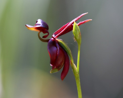 Shows Large duck orchid, Edward Hunter Heritage Bush Reserve