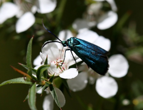 Shows Pollanisus viridipulverulenta, Satin green Forester on leptospermum, Edward Hunter Heritage Bush Reserve