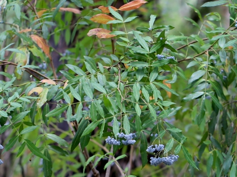 Shows blue fruit of native Elderberry panax, Edward Hunter Heritage Bush Reserve Moe