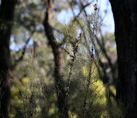 Shows Allocasuarina paludosa, Scrub Sheoak, Edward Hunter Heritage Bush Reserve