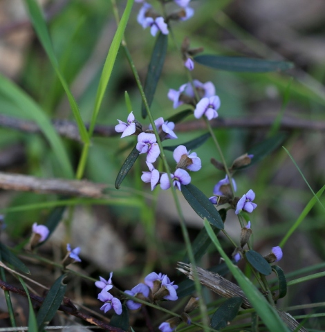 Shows Common Hovea, Edward Hunter Heritage Bush Reserve