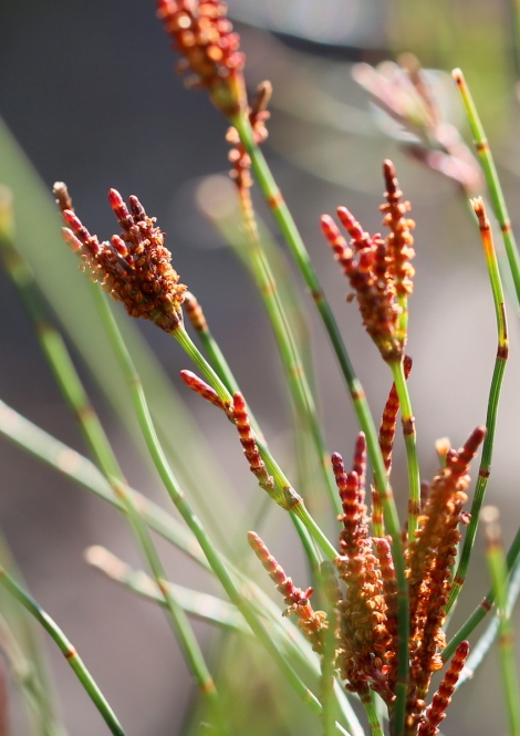 Shows male flowers of Allocasuarina paludosa, Edward Hunter Heritage Bush Reserve