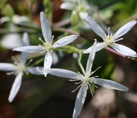 Shows Clematis glycinoides, Edward Hunter Heritage Bush Reserve