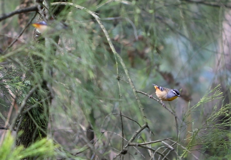 Shows female Spotted pardalote, Edward Hunter Heritage Bush Reserve