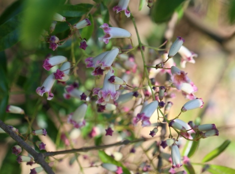 Shows white and purple flowers of Wonga Vine, Pandorea pandorana, Edward Hunter Heritage Bush Reserve