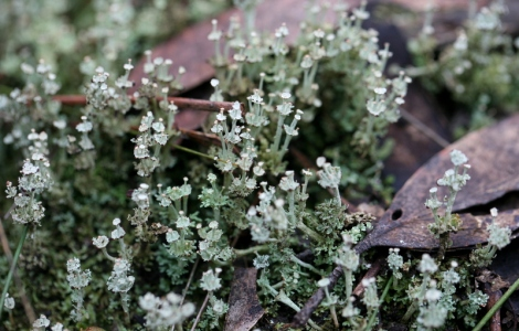 Shows silvery grey of Cladonia species of lichen, Edward Hunter Heritage Bush Reserve