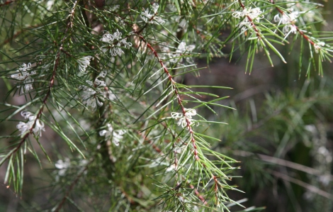 Shows Hakea decurrens, Bushy Needlewood, Edward Hunter Heritage Bush Reserve