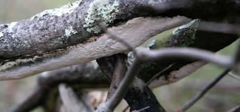 Shows white leathery shelf fungi, Edward Hunter Heritage Bush Reserve