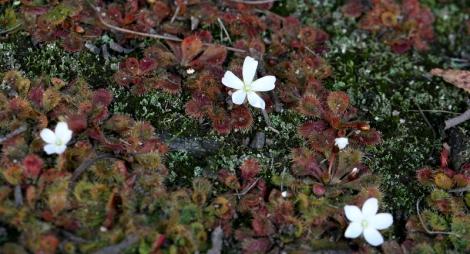 Shows pale flower of Drosera Aberrans, Scented sundew, Edward Hunter Heritage Bush Reserve