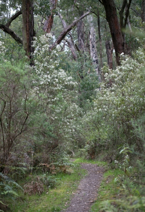 Shows flowering Daisy Bush, Edward Hunter Heritage Bush Reserve