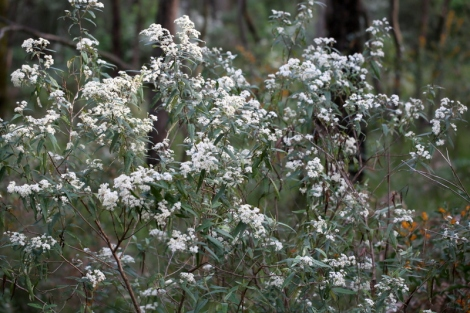 Shows Snowy flowers of Daisy Bush, Edward Hunter Heritage Bush Reserve