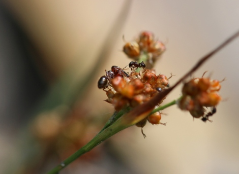 Shows Pheidole major ant collecting seed from Luzula, Edward Hunter Heritage Bush Reserve
