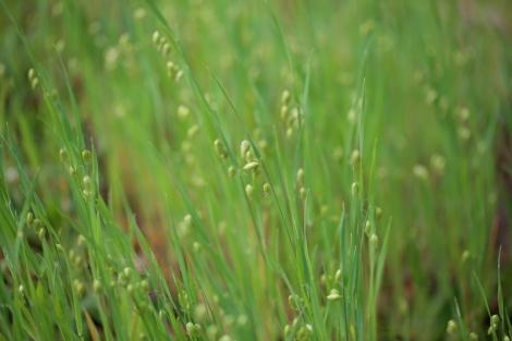 Shows example of Quaking Grass weed, Briza maxima, Edward Hunter Heritage Bush Reserve
