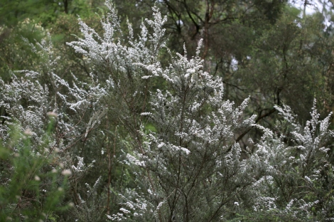 Shows Woolly tea-tree, Edward Hunter Heritage Bush Reserve