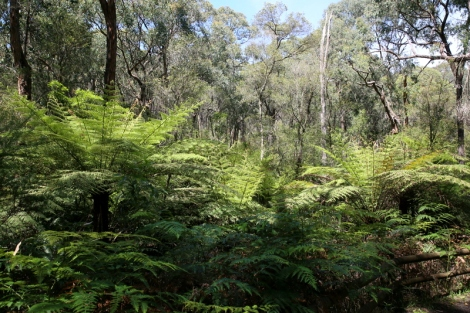 Shows Tree-fern seasonal green growth, Edward Hunter Heritage Bush Reserve