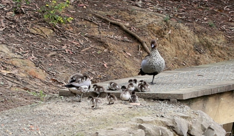 Shows Australian Wood duck family, resting in the sun, Edward Hunter Heritage Bush Reserve