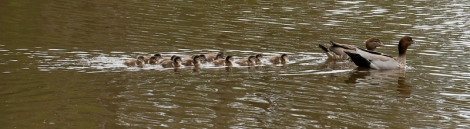 Shows Australian Wood Duck family, Edward Hunter Heritage Bush Reserve