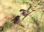 Shows Superb fairy-wren, Edward Hunter Heritage Bush Reserve