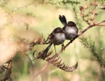 Shows pair of fairy-wrens, Edward Hunter Heritage Bush Reserve