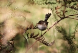 Shows Superb fairy-wren, Edward Hunter Heritage Bush Reserve