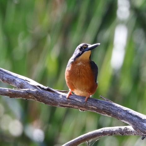 Shows Azure Kingfisher, Edward Hunter Heritage Bush Reserve