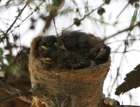 Shows three nestlings, Grey Fantails, Edward Hunter Heritage Bush Reserve