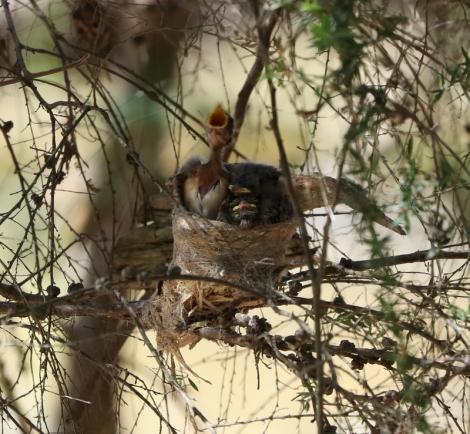 Shows nestlings of Grey Fantails, Edward Hunter Heritage Bush Reserve