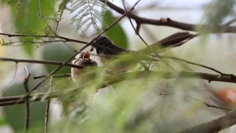 Shows Grey Fantail parent with fledgling, Edward Huner Heritage Bush Reserve