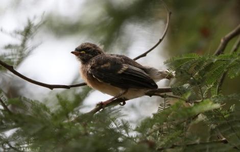 Shows Grey Fantail fledgling, Edward Huner Heritage Bush Reserve