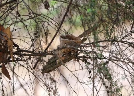 Shows nest, Grey Fantails, Edward Hunter Heritage Bush Reserve