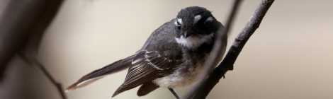 Shows inquisitive Gret Fantail, edward Hunter Heritage Bush Reserve