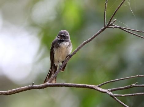 Shows Grey Fantail, Edward Hunter Heritage Bush Reserve