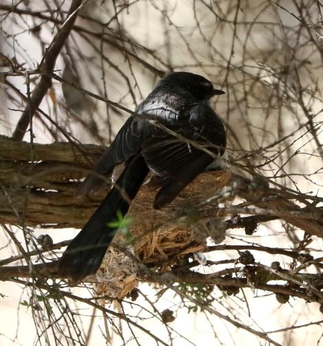 Shows Grey Fantail on nest, Edward Hunter Heritage Bush Reserve
