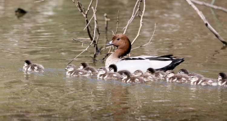 Shows Australian Wood ducklings with parent, Edward Hunter Heritage Bush Reserve