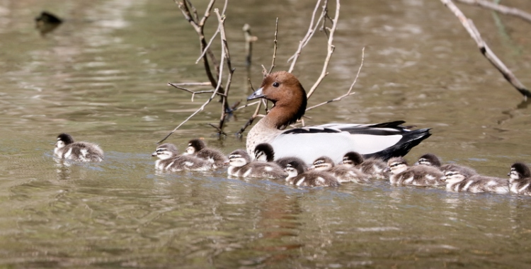 Shows Australian Wood ducklings with parent, Edward Hunter Heritage Bush Reserve