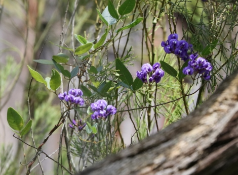 Shows Purple coral-pea, Hardenbergia violacea, Edward Hunter Heritage Bush Reserve