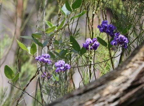 Shows Purple coral-pea, Hardenbergia violacea, Edward Hunter Heritage Bush Reserve