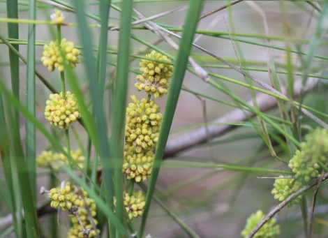 Shows a flowering Lomandra multiflora ssp multiflora, Edward Hunter Heritage Bush Reserve