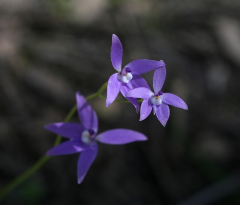 Shows a triple-flowered waxlip orchid, Edward Hunter Heritage Bush Reserve